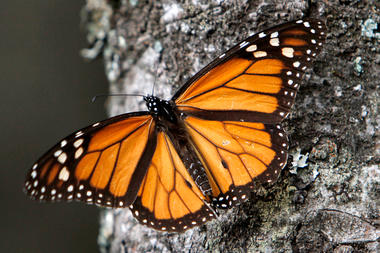 0129-butterfly-population-monarch_full_380