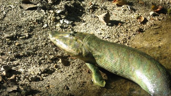 Extinct-lan-walking-fish-Tiktaalik-roseae-possessed-robust-hips-650x365