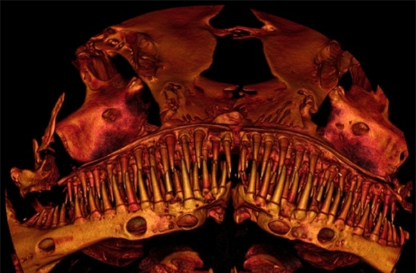 scanned-image-of-catfish-called-kryptoglanis-shajii