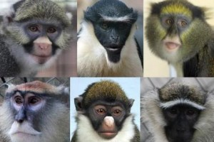Various species of Old World monkeys