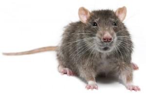 Rats too feel regret
