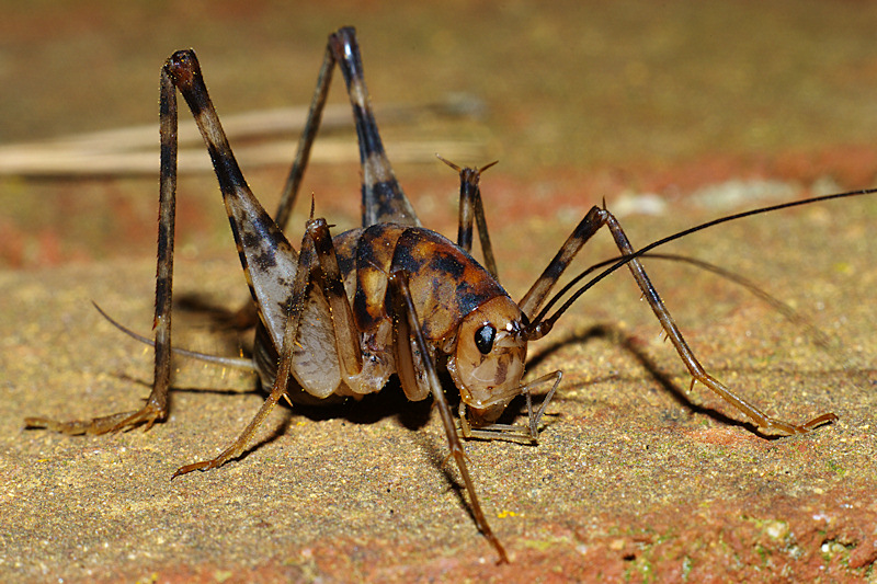 camel crickets invade u s homes utah people 39 s post