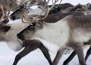 700-Year-Old Virus from Ancient Caribou