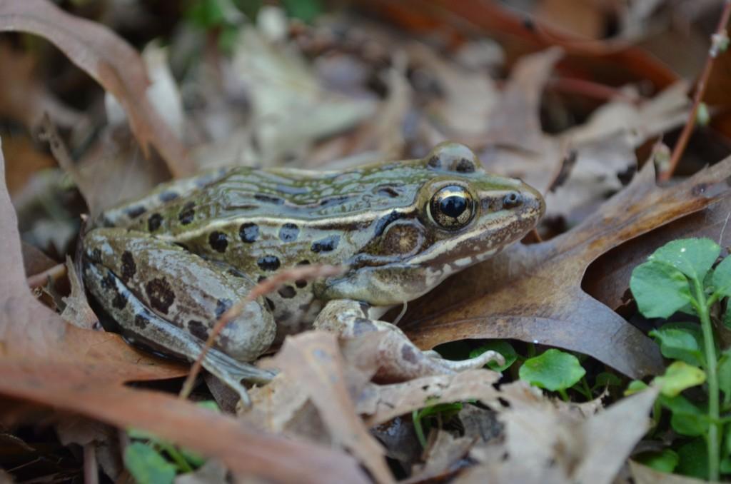 Leopard Frog Species