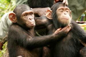 Wild Chimps Teach Each Other