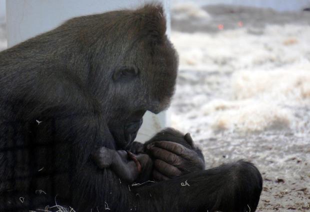 Como Zoo Baby Gorilla