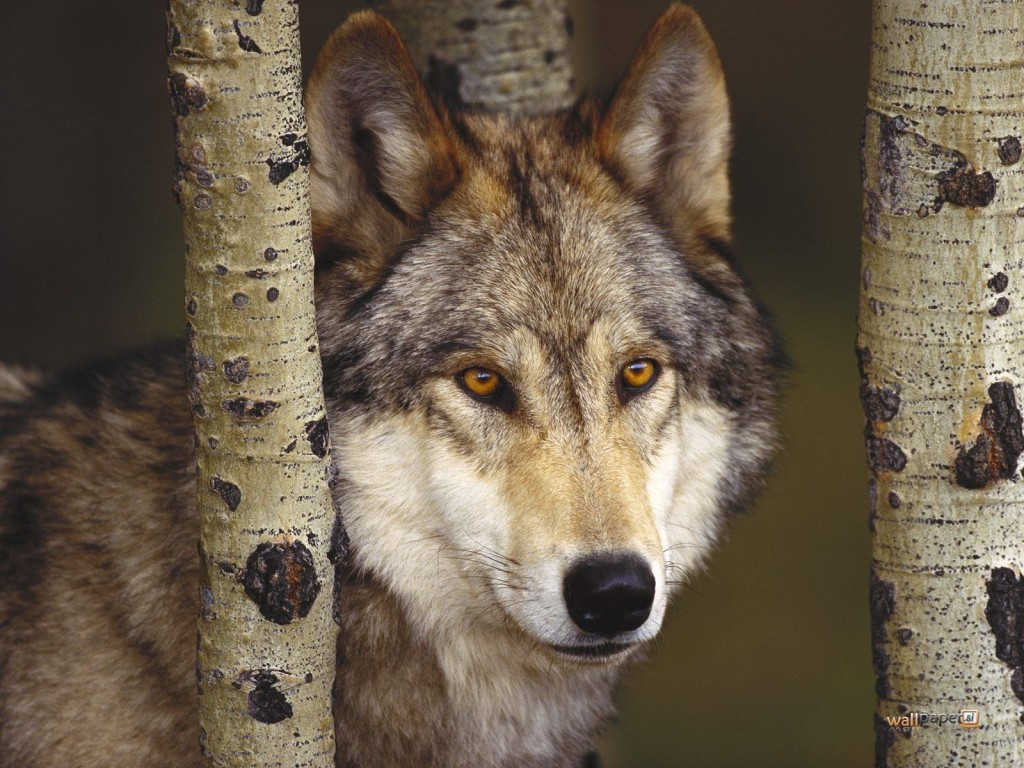 Female Gray Wolf 450 Miles Away from Her Home Found2