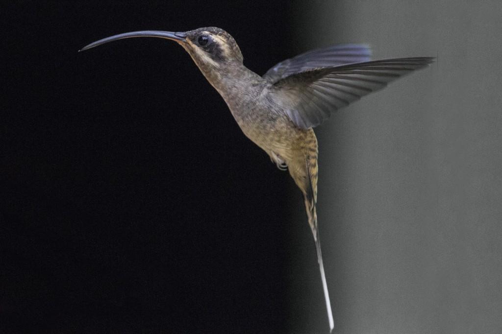 hummingbird beak fight