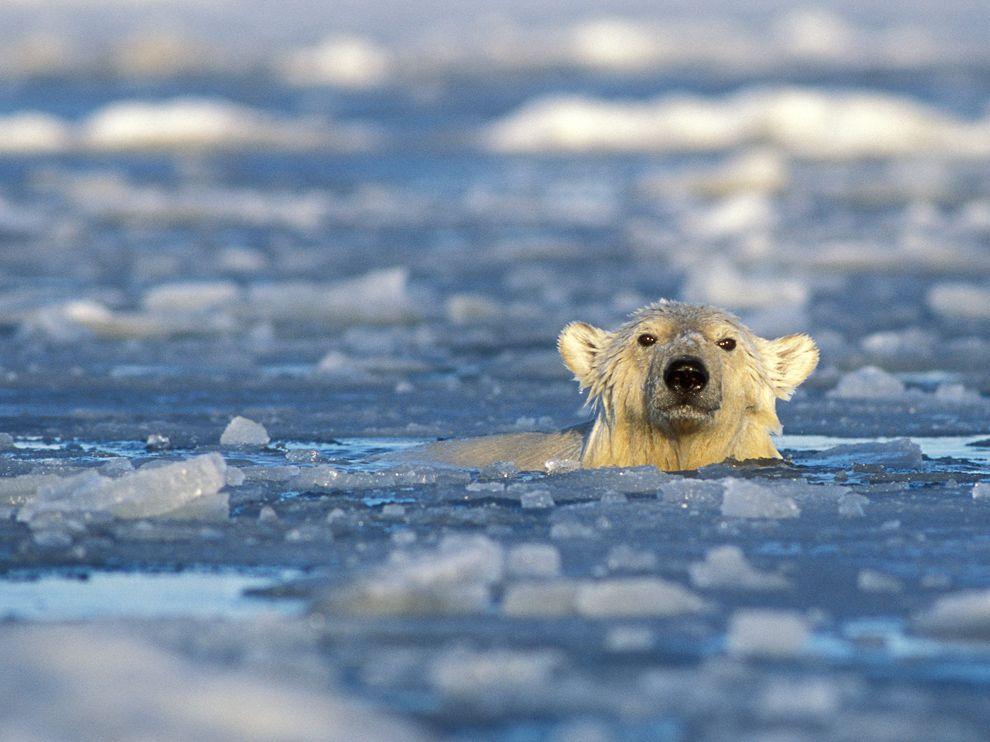 polar bear population