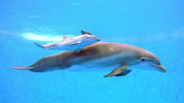 Bottlenose Dolphin Allison Gave Birth to a Boy Dolphin on Friday
