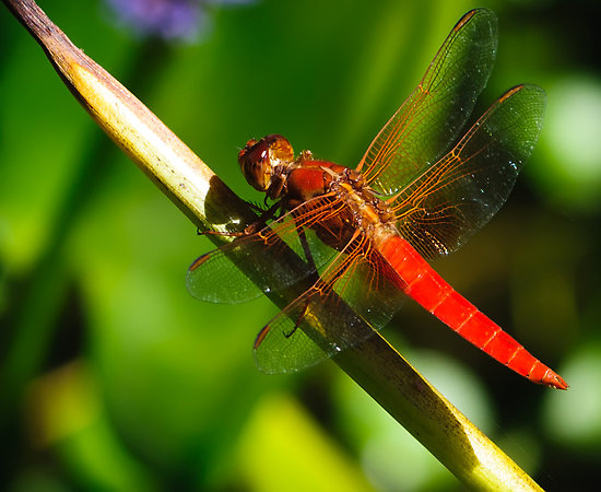 Dragonflies Use Predictive Hunting Technique to Grab Their Prey