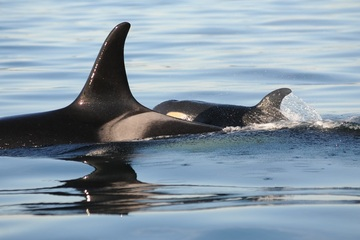 A New Hope for Killer Whales Endangered Species