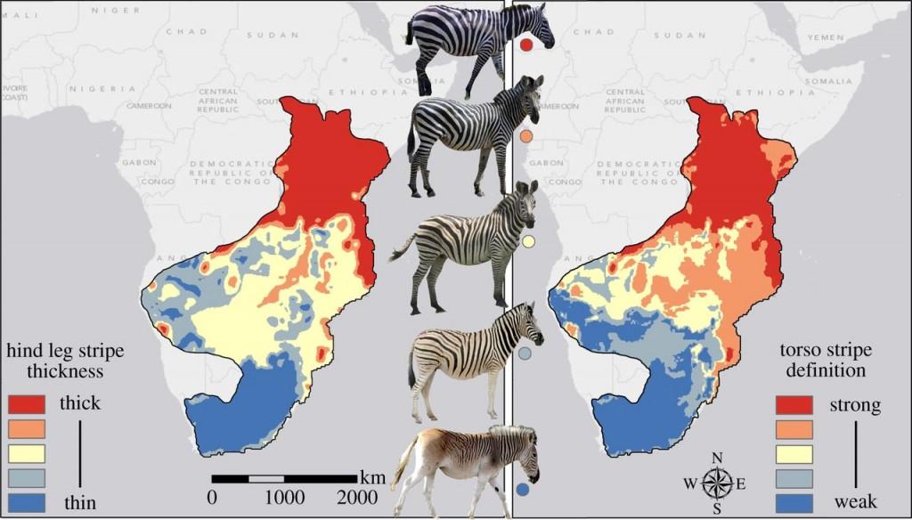 Adaptive Significance of Zebra Stripes