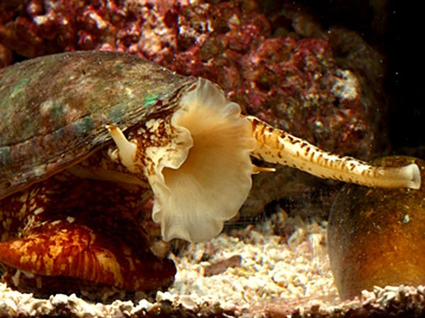 Cone Snails Attack Their Prey With Insulin