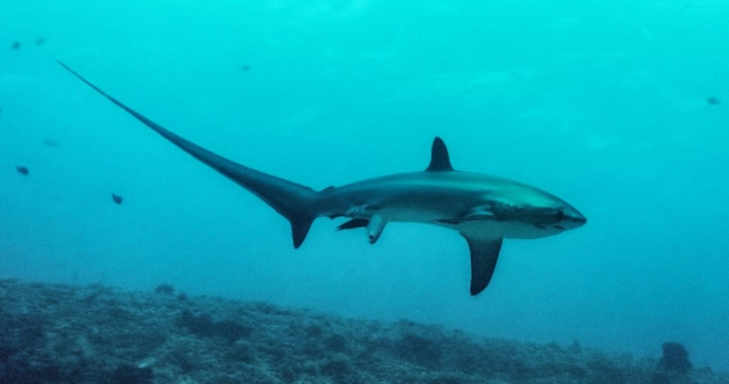First Photo of a Thresher Shark Birth Was Taken by Accident