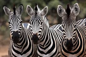 The role of Zebra Stripes May have Been Unveiled by New UCLA Study