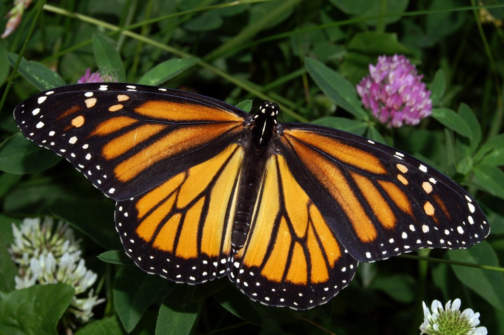 $3.2 Million Campaign to Save the Monarch Butterfly