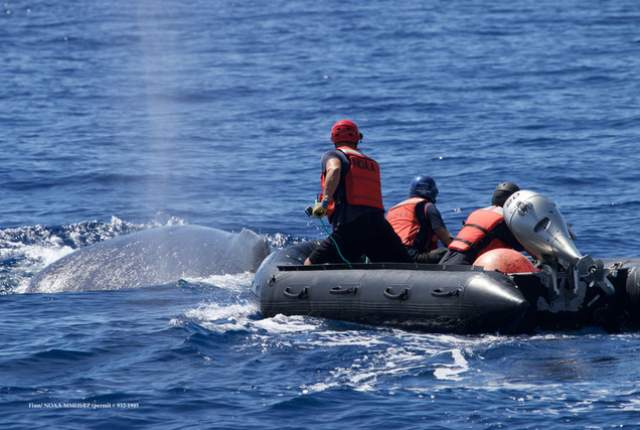 Hawaiian Team Rescues Entangled Humpback Whale after a Week of Distress