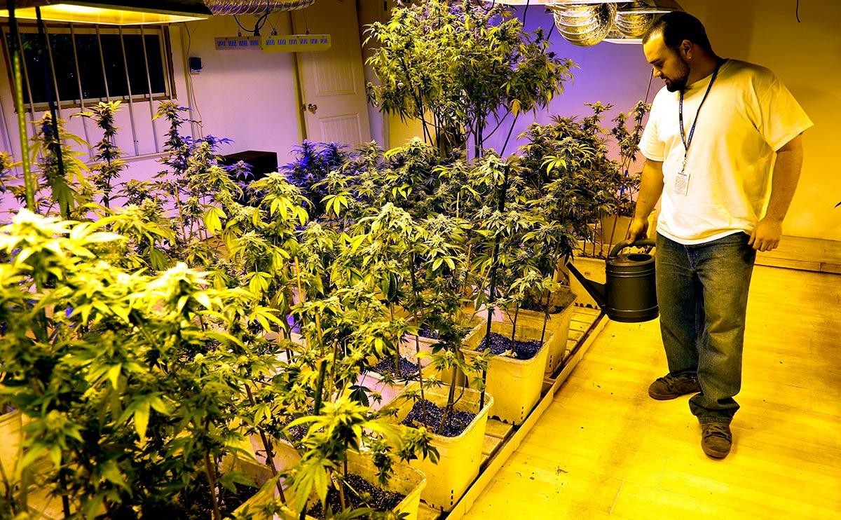 colorado marijuana plant grower in his greenhouse