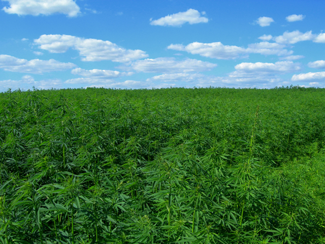 "alt=""marijuana crops in the united states"""