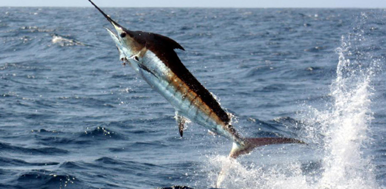 Swordfish-and-tuna-account-for-more-than-half-of-the-mercury-intake-from-seafood-in-the-US.-Photo-credit-NOAANMFS.