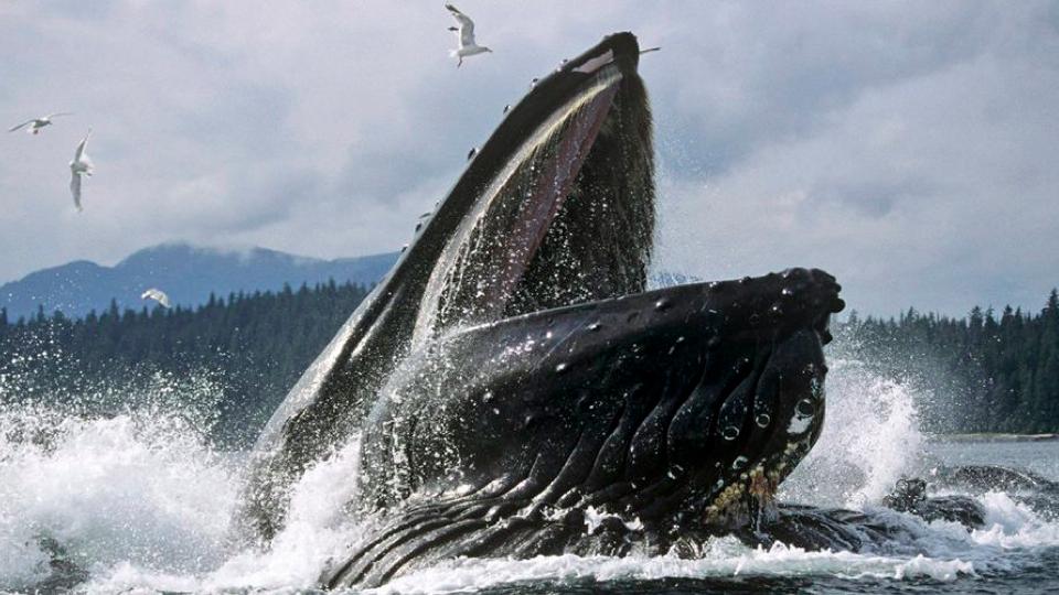 rorqual whale eating habits involve engulfing massive amounts of water
