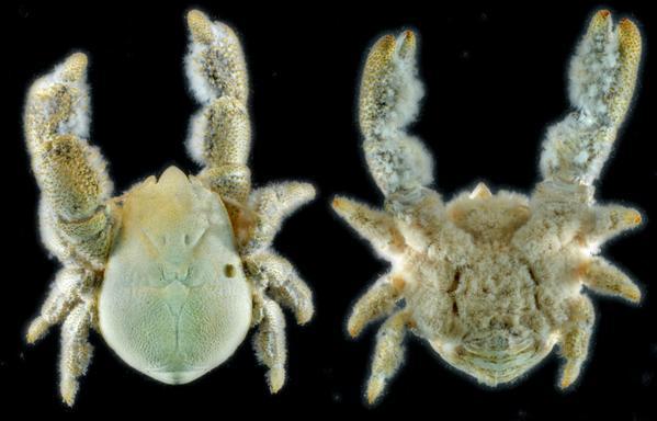 Heat Loving Yeti Crab