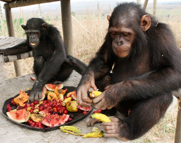 "alt=""chimps showing their high class cooking abilities"""