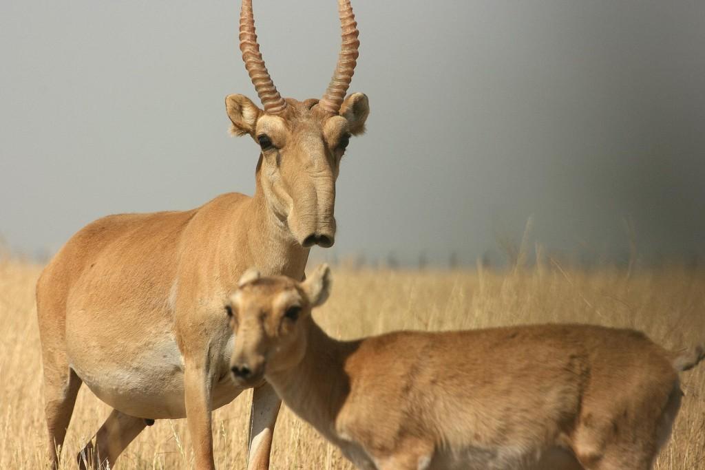 "alt=""saiga antelope female and its calf"""