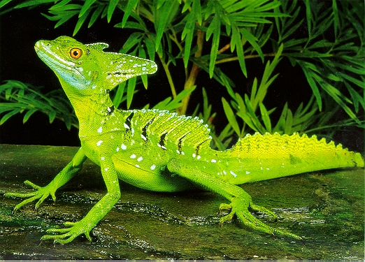 Lizards Really Walked On Water
