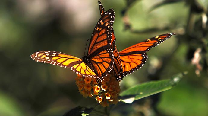 """""""saving monarch butterflies"""""""