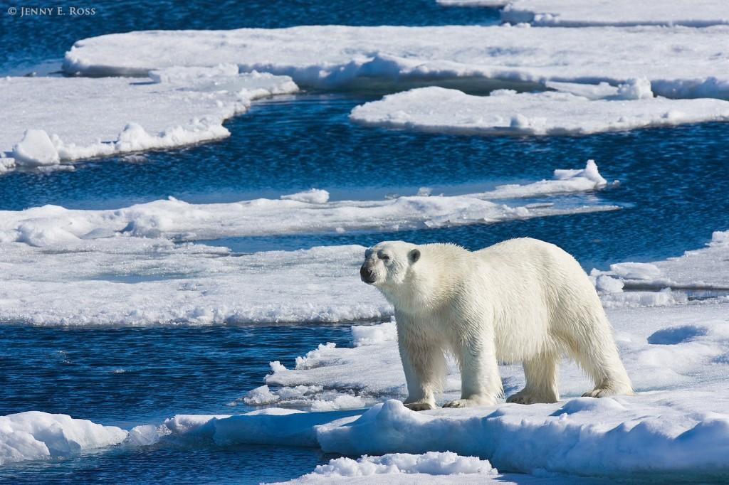 """alt=""""An adult male polar bear on sea ice in the Arctic Ocean"""""""