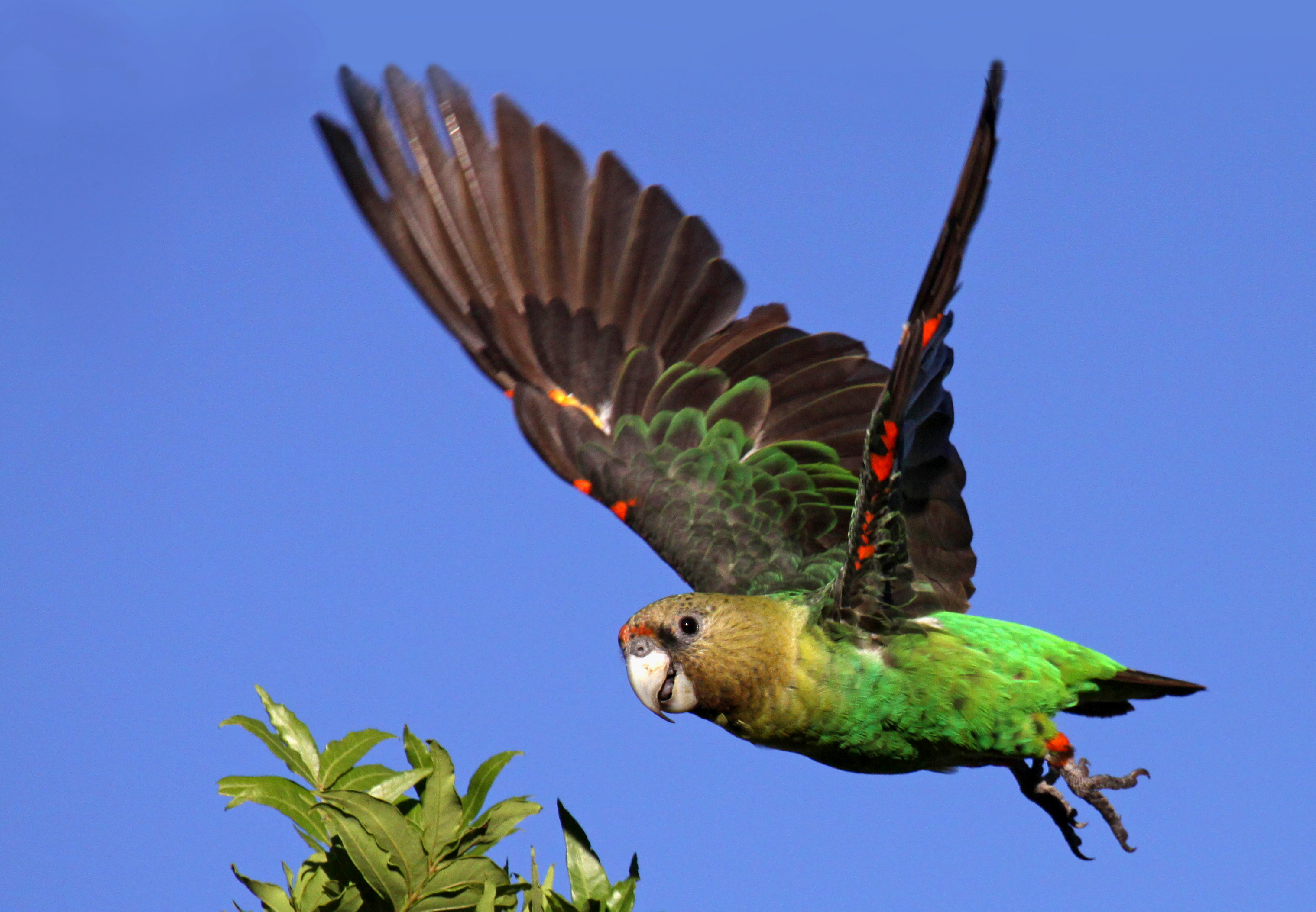 """cape parrot another species brown-necked parrot"""