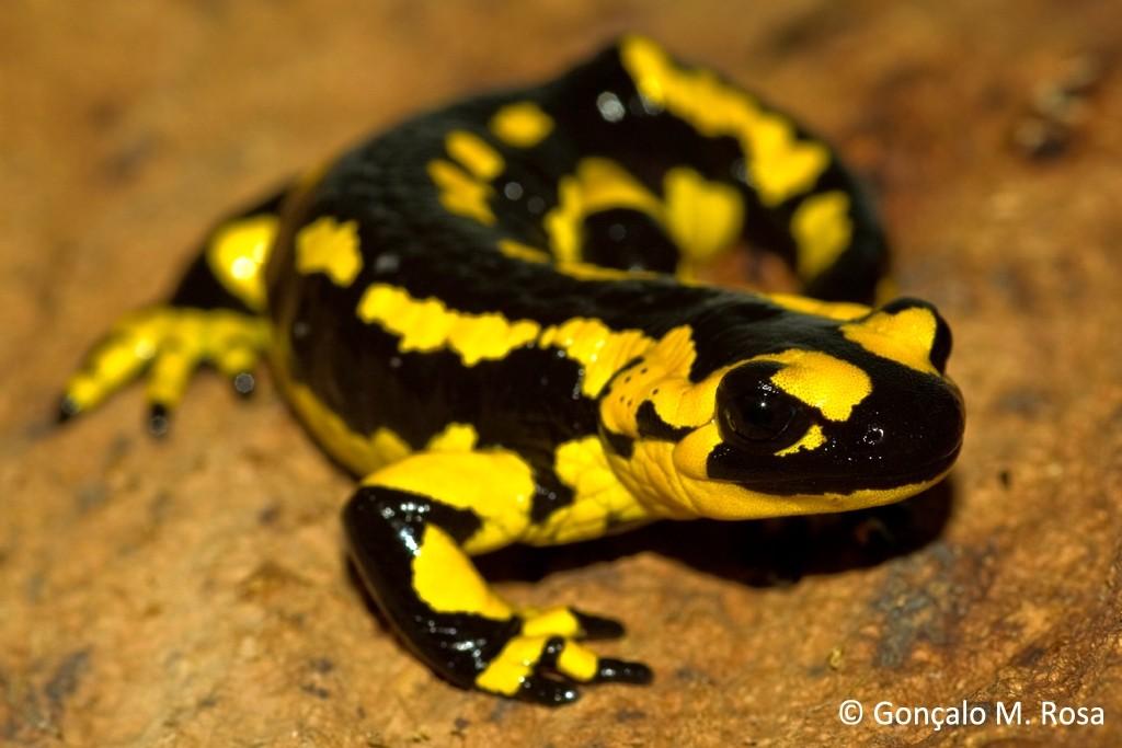 Fungus Outbreak May Kill Off US Salamanders