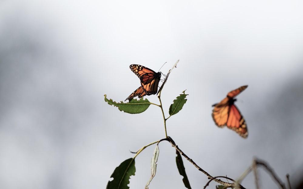 """butterflies six to extinction britain"""