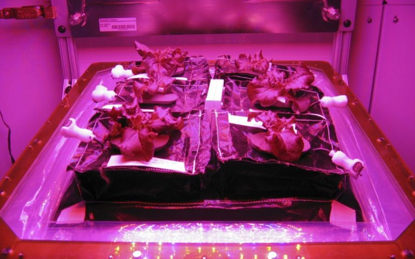 """alt=""""Astronauts Grow Lettuce in Space Station"""""""