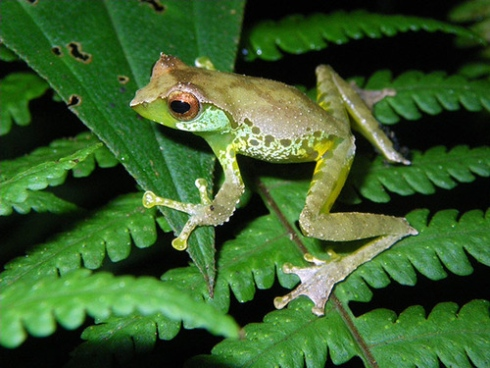 """""""Green Female Frogs Are in Danger of Losing Their Males"""""""