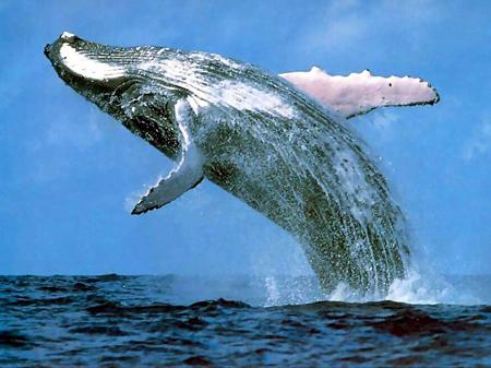 """""""Mysticete whale swimming"""""""