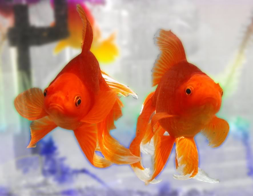 """""""two Gold fish swimming"""""""