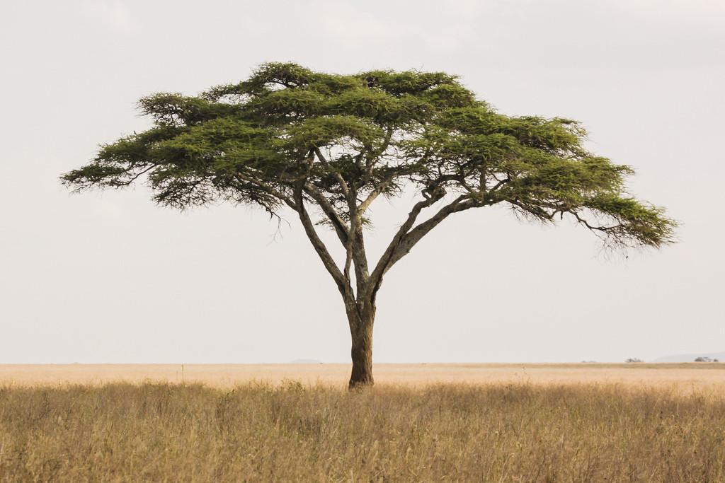 Image Gallery Safari Tree