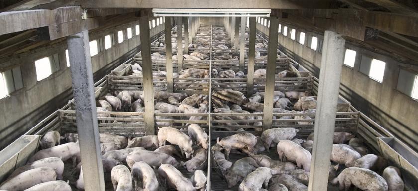 """alt=""""Pigs Raised in Industrial Facilities"""""""