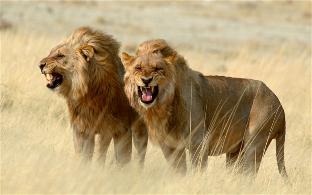 """alt=""""Two Lions Show Their Fangs at Hunting"""""""