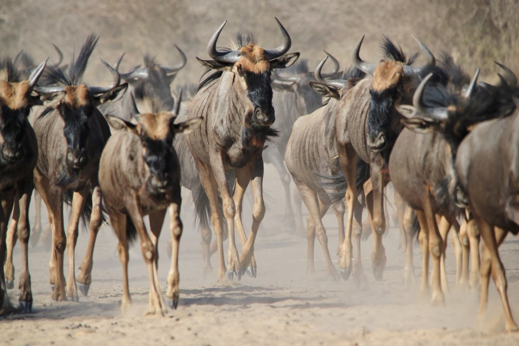 """wildebeests migration in the Serengeti"""