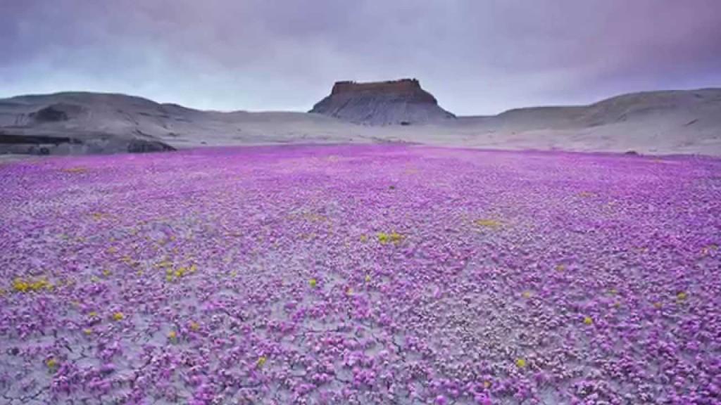 """flowers in Atacama desert"""