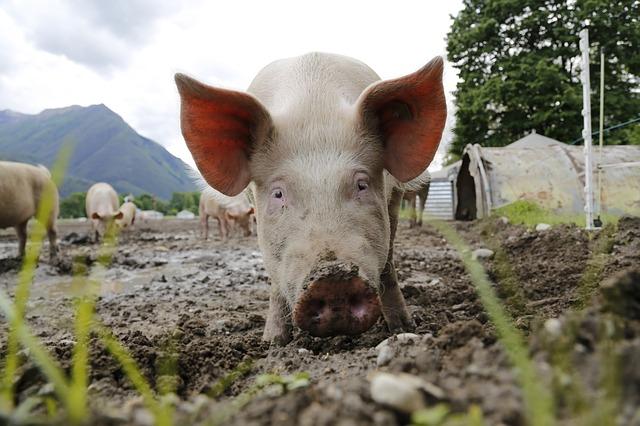 """pig genome editing"""