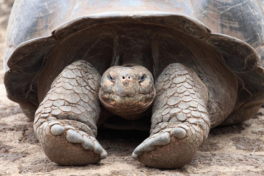 """""""new species of giant tortoise"""""""