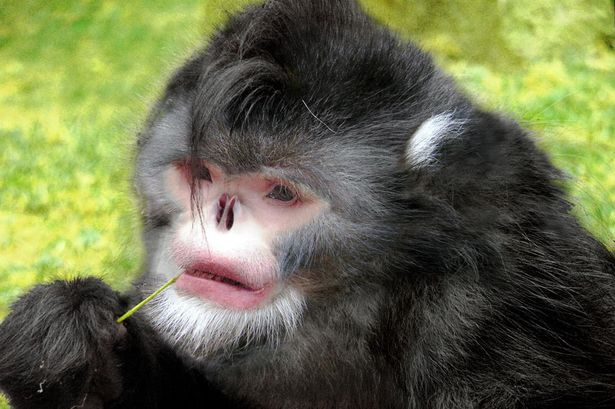 "alt=""Sneezing Monkey"""