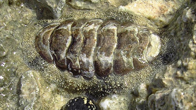 """A chiton mollusk has grown eyes into its shell."""