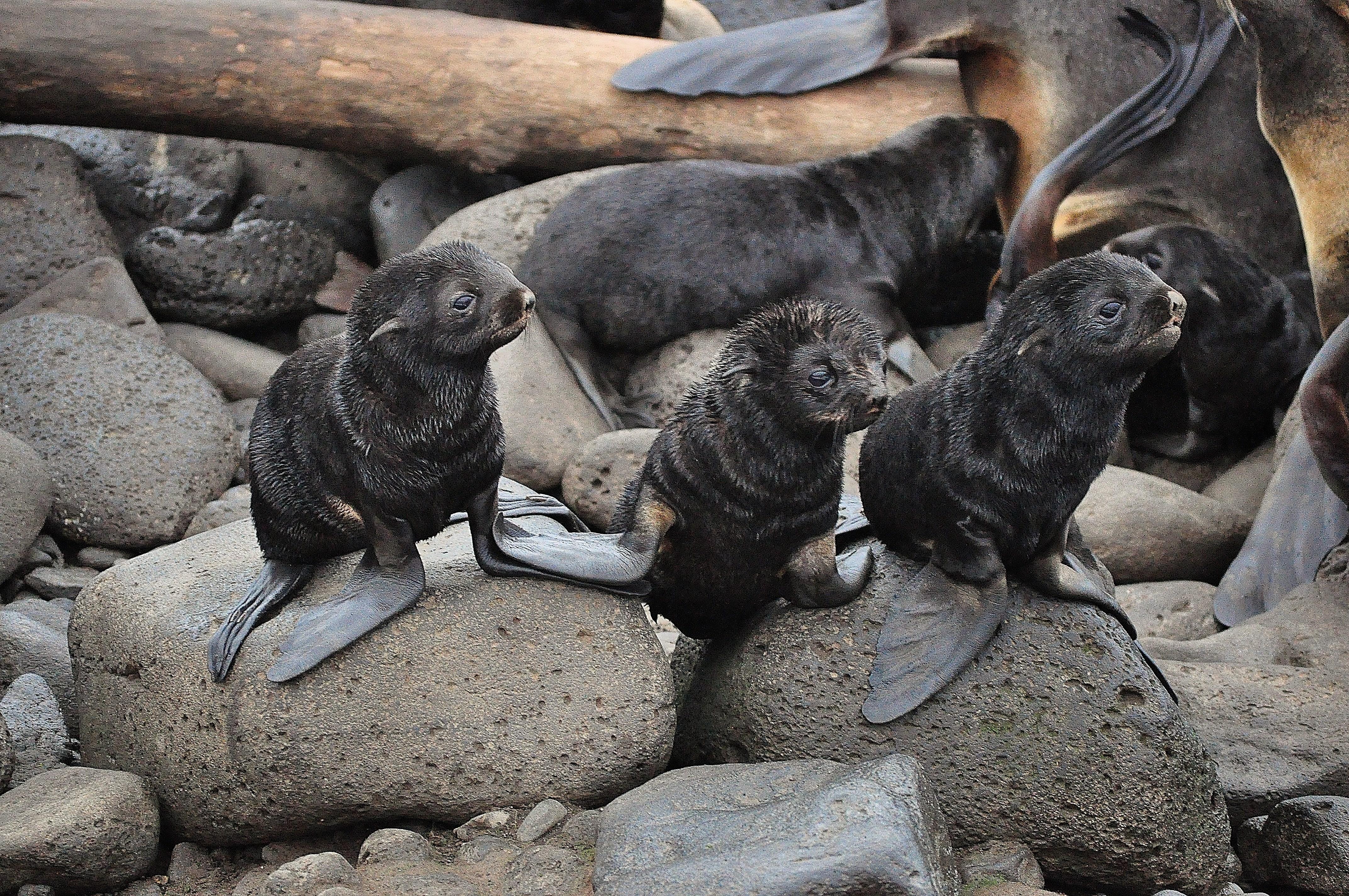 """northern fur seals california stranded"""