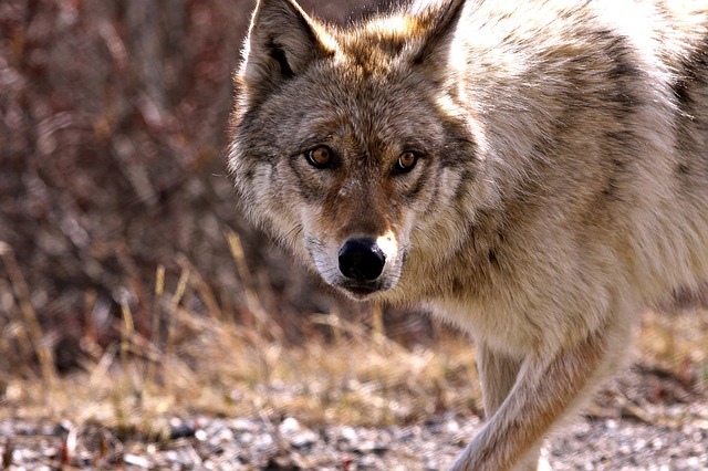 """""""Wolves may still need to be listed as endangered."""""""